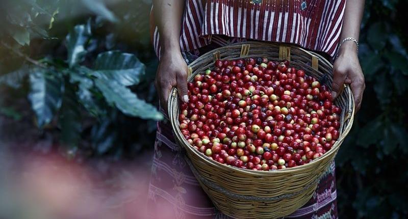 fruto del café arábica