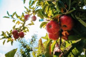 árbol manzanas